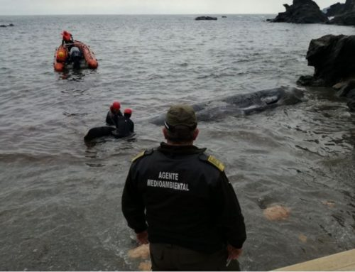 Junger Pottwal mit 29 kg Plastikmüll im Magen tot an spanischer Küste gefunden